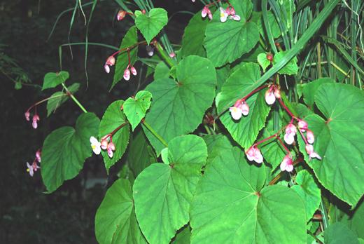 桔梗2番花が咲き出しましたのイメージ