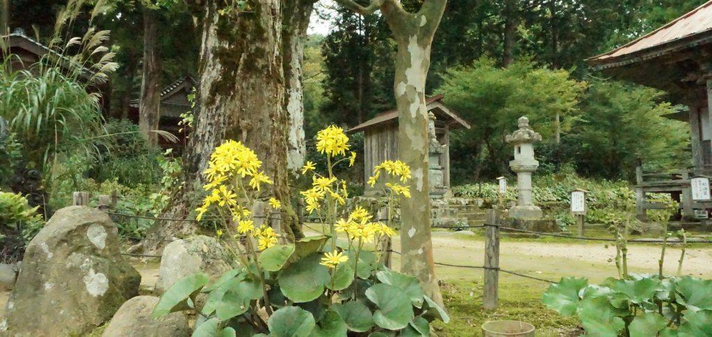 ツワブキが咲き揃ってきましたのイメージ